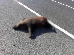 Aracın çarptığı yaban domuzu telef oldu